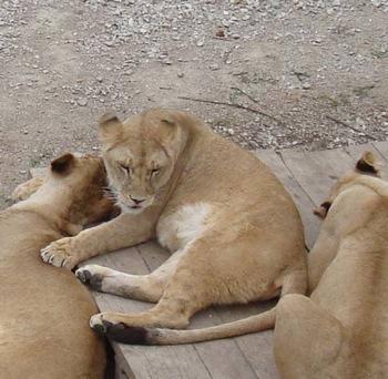 Львы Крым Тайган